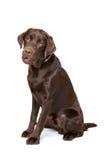 Cane di Labrador del cioccolato Fotografia Stock Libera da Diritti