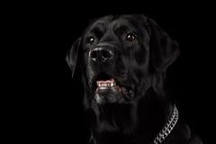 Cane di Labrador del nero del ritratto del primo piano, sguardo attento, vista frontale, isolata Immagini Stock