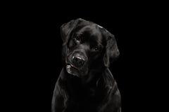 Cane di Labrador del nero del ritratto del primo piano, sguardo interrogante, vista frontale, isolata Fotografia Stock