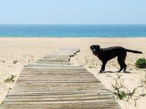 Cane di Labrador nella sabbia della spiaggia con il mare nei precedenti Fotografia Stock Libera da Diritti