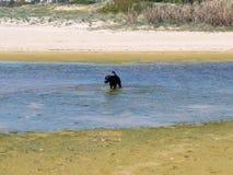 Cane di Labrador nello stagno della spiaggia Immagine Stock