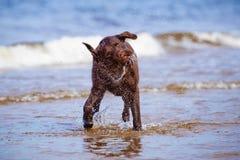 Cane di labrador retriever che scuote acqua Fotografia Stock