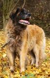 Cane di Leonberger fotografia stock libera da diritti