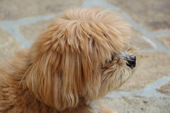 Cane di Lhasa Apso in un giardino Fotografia Stock