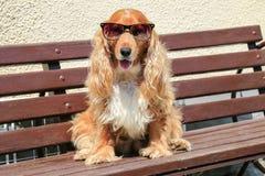Cane di Moder con gli occhiali da sole Immagine Stock