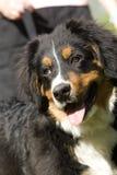 Cane di montagna di Bernese Immagini Stock Libere da Diritti