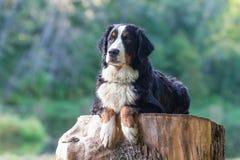 Cane di montagna di Bernese Fotografia Stock
