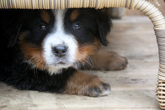 Cane di montagna di Bernese del cucciolo Fotografia Stock