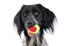 Cane di Munsterlander fotografie stock libere da diritti