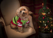 Cane di Natale di Yorkie Fotografie Stock