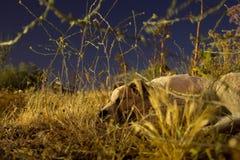 Cane di notte Immagine Stock Libera da Diritti