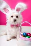 Cane di Pasqua con le orecchie e le uova del coniglietto immagine stock libera da diritti