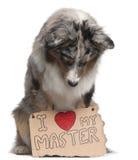 Cane di pastore australiano, 10 mesi, sedentesi Fotografie Stock Libere da Diritti
