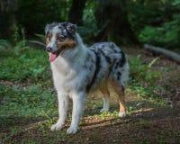 Cane di pastore australiano Fotografie Stock Libere da Diritti