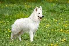 Cane di pastore bianco svizzero Immagine Stock Libera da Diritti