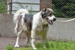 Cane di pastore caucasico Fotografia Stock Libera da Diritti