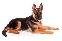 Cane di pastore tedesco Immagine Stock Libera da Diritti