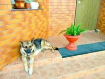 Cane di pastore tedesco che si trova sui punti fotografie stock