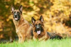 Cane di pastore tedesco due Immagini Stock