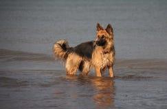 Cane di pastore tedesco nel mare. Fotografia Stock Libera da Diritti