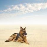 Cane di pastore tedesco sano e felice Immagine Stock