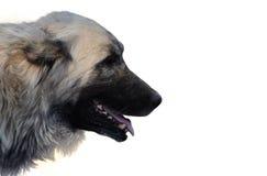 Cane di pastore turco Immagini Stock