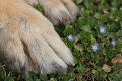 Cane di Paw German Shepherd sull'erba immagine stock