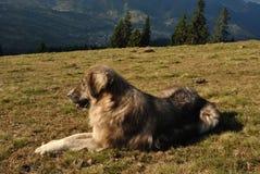 Cane di pecore Fotografia Stock
