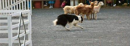 Cane di pecore di funzionamento Fotografie Stock Libere da Diritti
