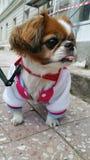 Cane di Pekingese fotografia stock libera da diritti