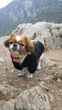 Cane di Pekingese fotografia stock