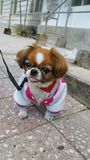 Cane di Pekingese fotografie stock