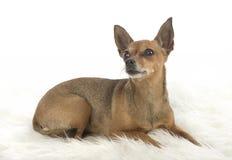 Cane di piccola taglia femminile del pincher Fotografie Stock Libere da Diritti
