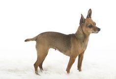 Cane di piccola taglia femminile del pincher Immagini Stock