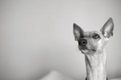 Cane di piccolo levriero inglese che cerca stranamente Fotografia Stock Libera da Diritti