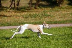 Cane di piccolo levriero inglese fatto funzionare nel campo Immagini Stock