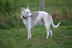 Cane di piccolo levriero inglese nel campo Fotografie Stock