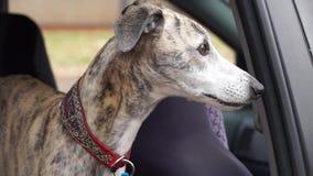 Cane di piccolo levriero inglese nella finestra di automobile archivi video