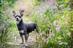Cane di Pincher in foresta immagini stock libere da diritti