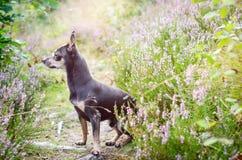 Cane di Pincher - ritratto all'aperto di sera Immagini Stock