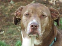 Cane di Pitador che sembra triste Fotografia Stock
