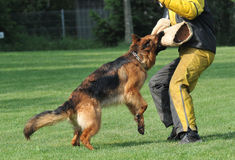 Cane di polizia Immagine Stock Libera da Diritti