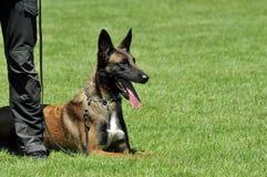 Cane di polizia Immagini Stock