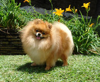 Cane di Pomeranian Fotografie Stock
