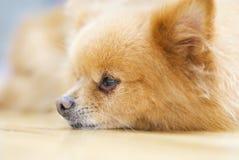 Cane di Pomeranian Fotografia Stock