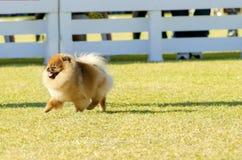 Cane di Pomeranian Fotografia Stock Libera da Diritti