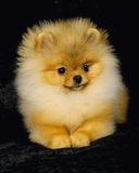 Cane di Pomeranian Fotografie Stock Libere da Diritti