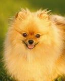 Cane di Pomeranian Immagine Stock