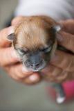Cane di Pomeranian, cane pomeranian del ritratto del primo piano Immagini Stock Libere da Diritti