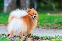Cane di Pomeranian nel parco Fotografie Stock Libere da Diritti